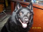 Shandy - Male Schipperke (12 years)