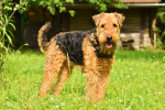 Airedale Terrier picture