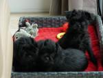 Affenpinscher (2 months) picture