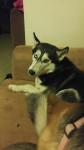 Jake - Alaskan Malamute (3 years)