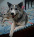 lley - Alaskan Malamute (7 months)