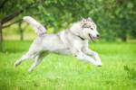 Un Malamute d'Alaska en train de courir dans un pré
