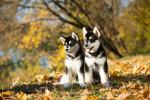 Deux chiots Malamutes d'Alaska dans une forêt en automne