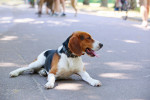 American Foxhound picture