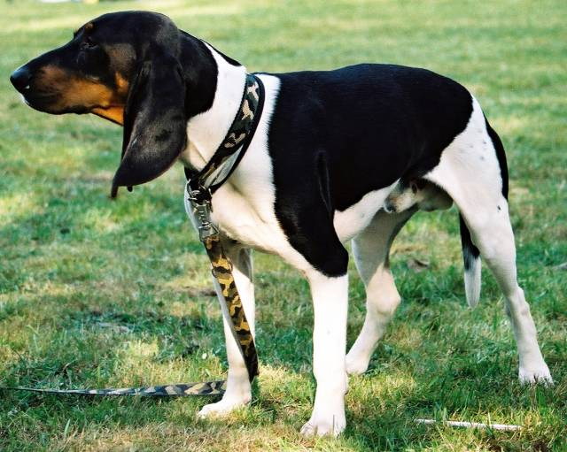 Ariege Pointer picture