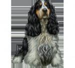 arianne - Male Australian Silky Terrier (1 year)