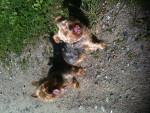 Tiffy und Omii - Australian Silky Terrier (13 years)