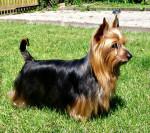 Australian Silky Terrier picture