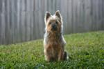 Cera - Australian Silky Terrier