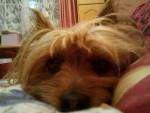 mon swifer - Australian Silky Terrier (7 years)