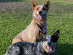 Australian cattle dog - Australian Stumpy Tail Cattle Dog