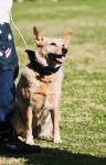 Australian Stumpy Tail Cattle Dog picture
