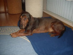 Bubi - Male Alpine Dachsbracke (15 years)