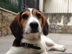 Dream - Male Beagle-Harrier (7 months)