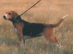 Beagle Harrier - Beagle-Harrier