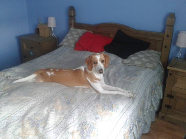 Milo - Male Beagle-Harrier (1 year)