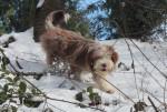 Helwing – Lily dans la neige copine de Kassam - Bearded Collie