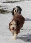 Helwing – Lily et Kassam dans la neige - Bearded Collie