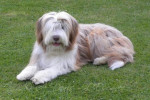 Helwing – Lily jolie Bearded Collie - Bearded Collie