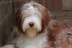 Beau portrait de Helwing – Lily - Bearded Collie