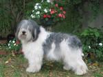 BUZIA z Gangu Dlugich (femelle) - Polish Tatra Sheepdog