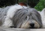 BUZIA z Gangu Dlugich - Polish Tatra Sheepdog
