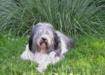 Ulko - Polish Tatra Sheepdog