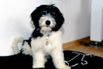 Feksa, Nizinny de 7 mois - Polish Tatra Sheepdog (7 months)
