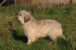 Polish Tatra Sheepdog picture