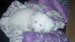 Blinis - Male Bichon Frise (10 years)