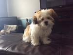 Pixie - Havanese (5 months)
