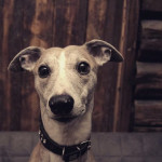 Baby Sarma - Male Whippet