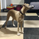 NELSON - Male Whippet (4 months)