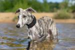 Un lévrier Whippet se baigne dans un lac