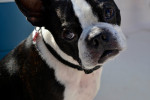 Boston Terrier picture
