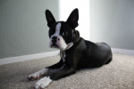 Banjo - Boston Terrier