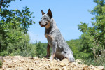 Australian Cattle Dog picture