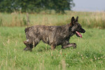 Ardennes Cattle Dog picture