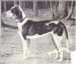 Deutsche Bracke picture