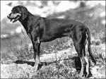 Brachet Autrichien Noir et Feu - Austrian Black and Tan Hound