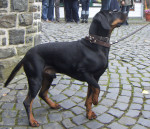 Austrian Black and Tan Hound picture