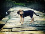 Polish Hound picture
