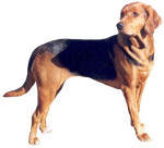 Polish Hound picture