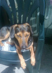 Lucky - Male Tyrolean Hound (3 years)