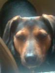 Lucky wie süüüüßßßß!! - Male Tyrolean Hound (3 years)