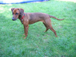 Tyrolean Hound picture