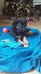 Oly - German Shepherd Dog (2 months)