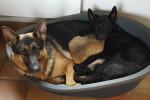 Laika - German Shepherd Dog (4 years)