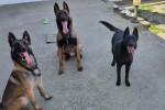 Horson, magnum, Nelly, laika - German Shepherd Dog (4 years)