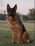 Optimus Prime - Male German Shepherd Dog (2 years)